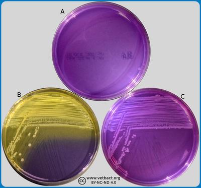 Crystal violet agar