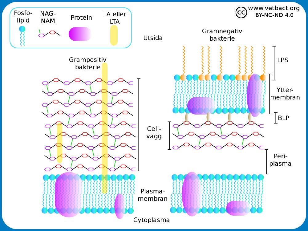 hur länge lever bakterier utanför kroppen